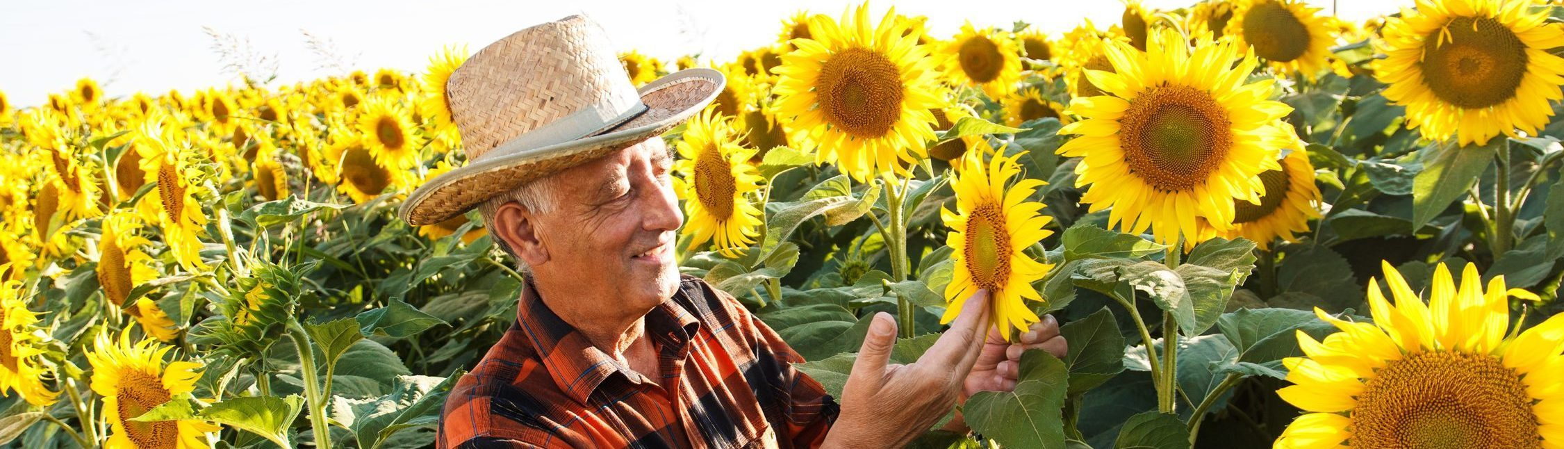 Senior farmer examining crop of sunflowers in field